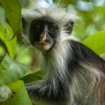 Red Colobus Monkey – Zanzibar – Portrait