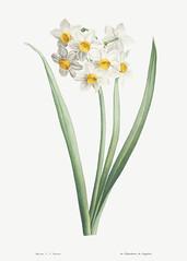 Narcissus easter flower