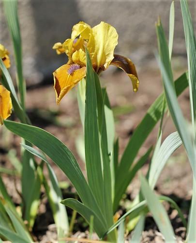 Iris - floraisons 2011 40231138243_8d9fc8ebe9