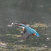 Kingfisher 190317082-2.jpg
