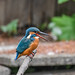 Kingfisher 190323178-2.jpg