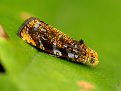 Silver-spotted Leafroller Moth