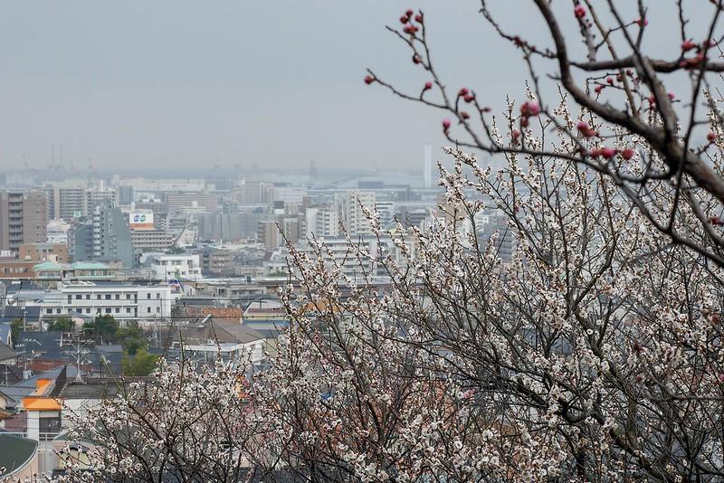 岡本梅林公園 梅の花 開花 見頃 2019