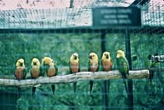 Brazilian Parakeets