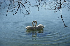 Courtship dance @ Swan @ Lake Annecy