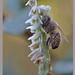 Chianti fiorentino 19.10.2017 - Orchidee spontanee  Prime ore del mattino: Spiranthes spiralis che ospita un ragnetto dei Thomisidae, una Misumena vatia, nell'atto di predare un'ape.