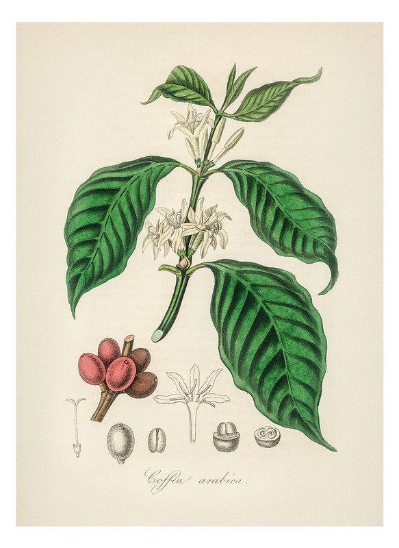 Coffea arabica illustration from Medical Botany (1836) by John Stephenson and James Morss Churchill.
