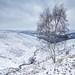 Frozen Birch by www.neilporterphotography.com
