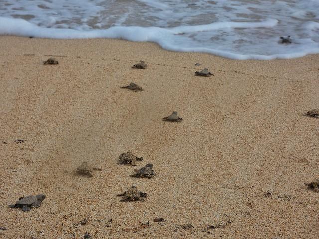 Crías de tortugas marinas buscando el mar (Santo Tomé y Príncipe)