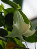 Photo:Brugmansia arborea flower (Datura arborea L., angel's trumpet, キダチチョウセンアサガオ) By Greg Peterson in Japan