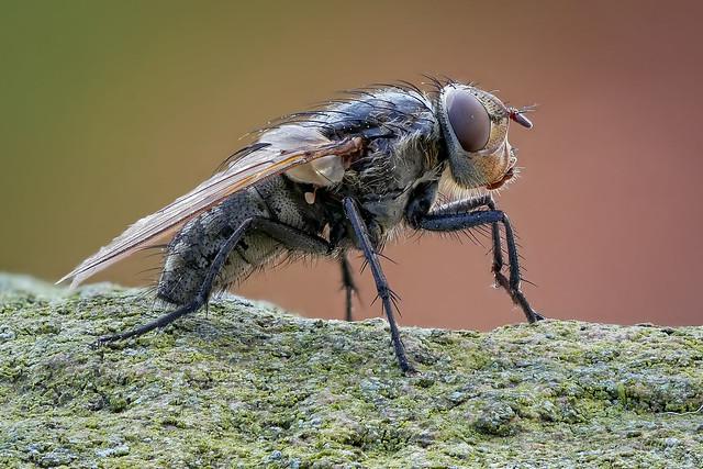Polsterfliege / Schmeißfliege - Pollenia spec. (Calliphoridae)