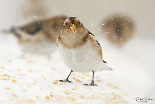Snjótittlingur - snow bunting - Plectrophenax nivalis