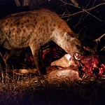 Hyena with Kill