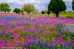 TexasWildflowers2019-0805