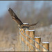 Kestrel (image 1 of 2) by Full Moon Images