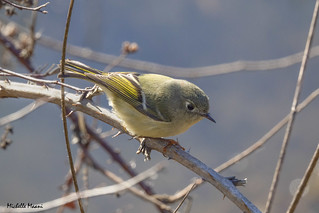 Ruby Crowned Kinglet hiding its crown