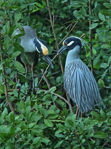 Yellow-crowned Night-Herons at nest 02-20190227
