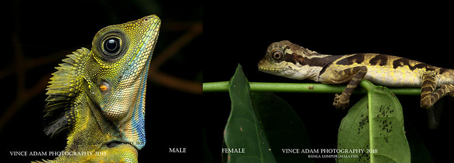 Desktop18-G grandis Male & young female Great Anglehead Lizard (Gonocephalus grandis)