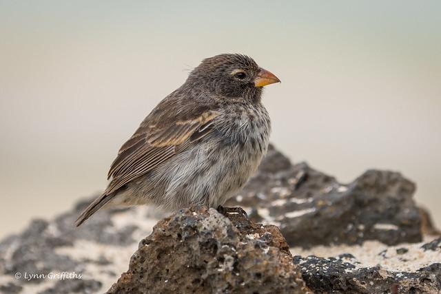 Small Ground Finch - Female 500_4727.jpg