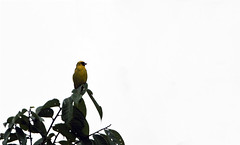 Black-faced canary Ivindo Town in Gabon