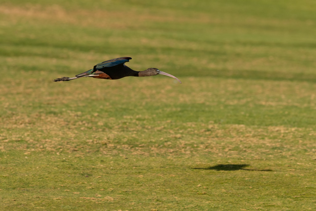 Glossy Ibis In-Flight