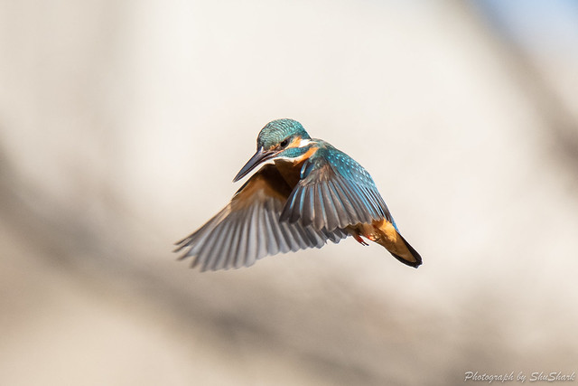 20190223-kingfisher-DSC_1517