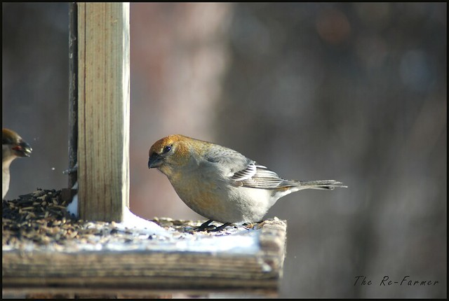 2019-02.pine.grosbeak.female.2