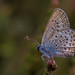 Silver-Studded blue (Plebejus argus) - male by markhortonphotography