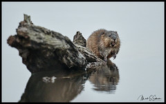 Muskrat at Duck Creek Conservation Area - No. 1 作者 Nikon66