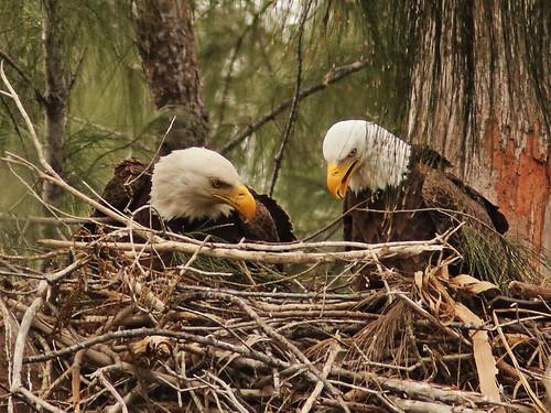 Bald Eagle 6142-20190125