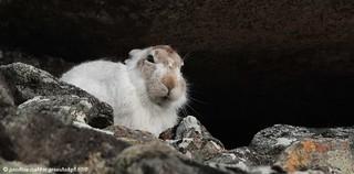 Pg193405 Mountain Hare