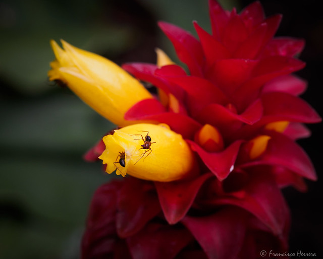 Ants on a Costus sp. flower