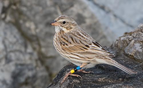 Banded-Savannah-Sparrow-Ipswich-2492