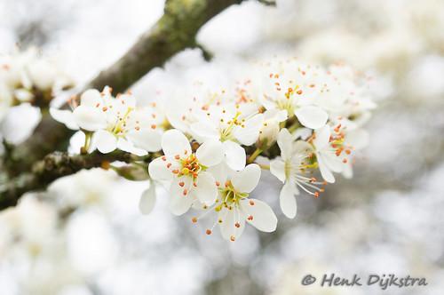 sleedoorn (Prunus spinosa) - blackthorn