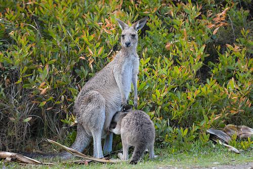 Kangaroo familly, Yuraygir National Park