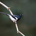 Magpie Tanager by Yamil Saenz
