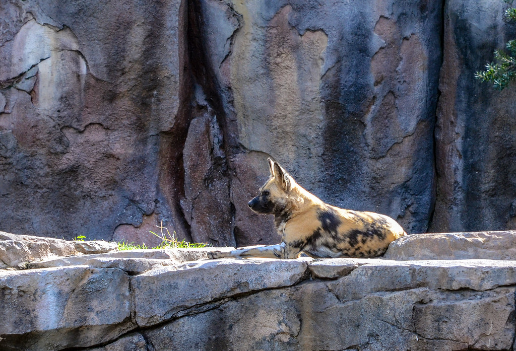 African dog AK Safari