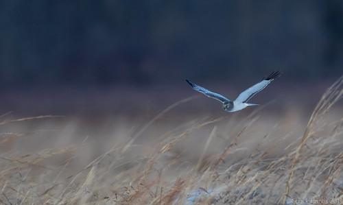 Northern Harrier (Ghost)