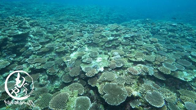 若い珊瑚がいっぱい♪未来が楽しみですね♪