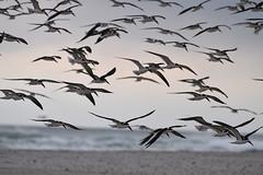 black skimmers birding Mason inlet NC 11.17DSC_0395