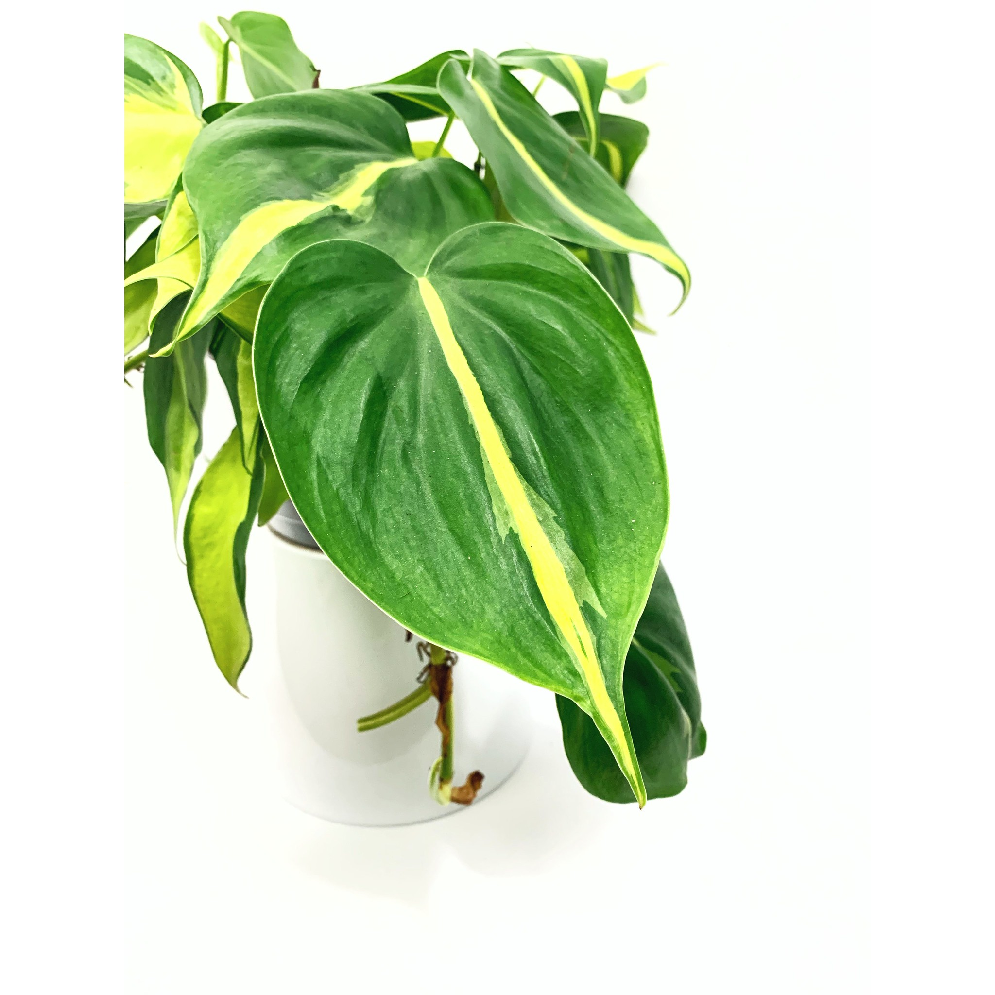 Brazilian Philodendron