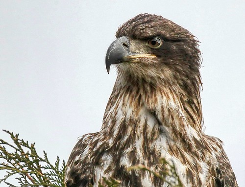Close up of a Juvy Eagle © EXPLORE - Click to view large