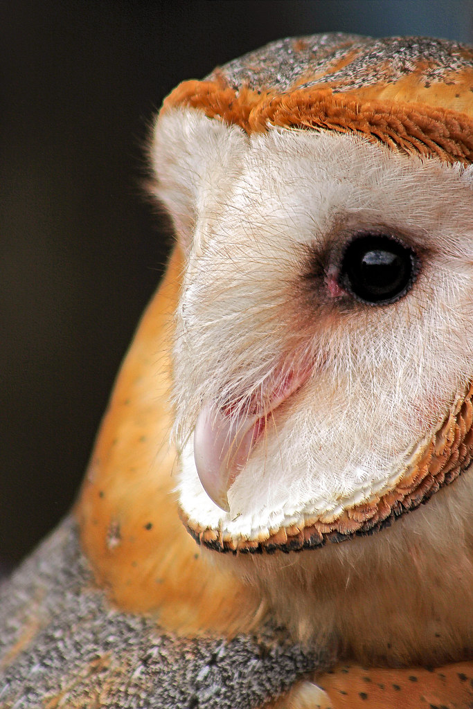 2019.02.16 Pints and Predators Barn Owl 7