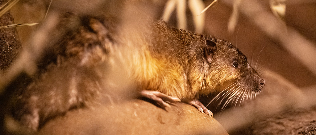 Australian Water Rat_2