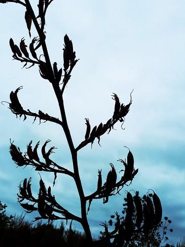 New Zealand Harakeke (flax) flower