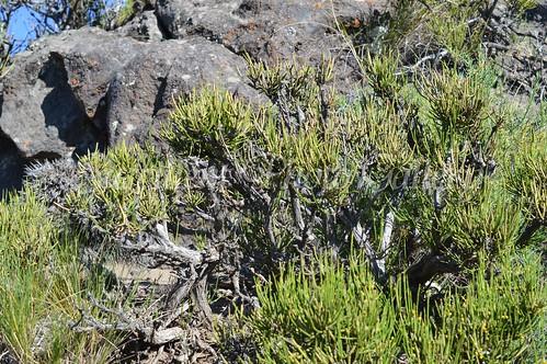 aDSC_0135 Ephedra chilensis エフェドラ チレンシス