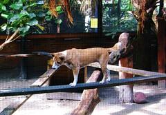 Canis lupus hallstromi --  New Guinea Singing Dog [aka Dog] 0442