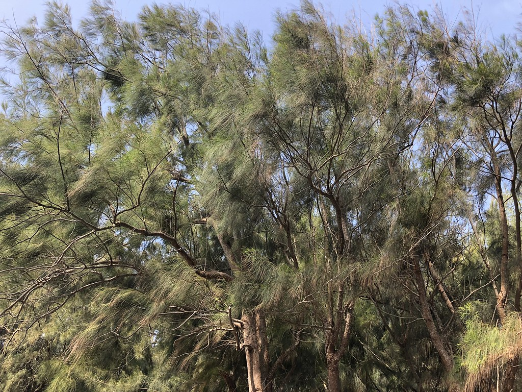 台灣沿海常見的木麻黃,具有防風定砂的功用,廣植於海岸邊,圖為林試所四湖海岸植物園中的木麻黃。攝影:廖靜蕙