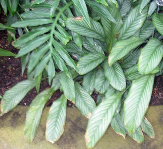 Calathea argyrophylla 46689356114_11ed14fe90_o