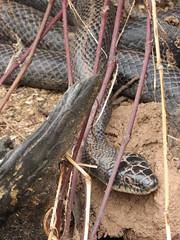 Black Rat Snake in Early Spring